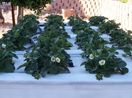 strawberries growing in a home build hydroponic system