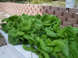 Home made hydroponic system growing lettuce